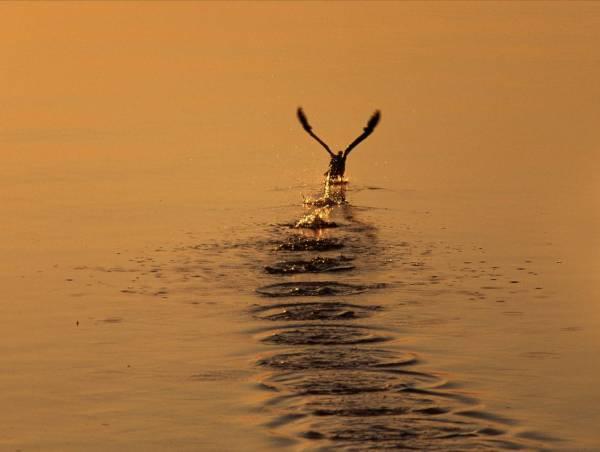 Взлетающая утка скачать бесплатно
