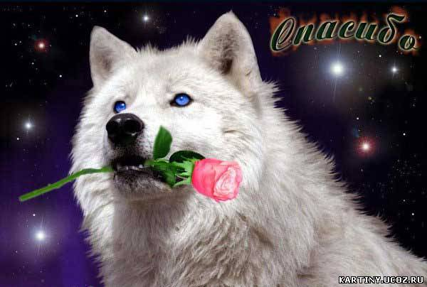 Картинки волк с розой в зубах