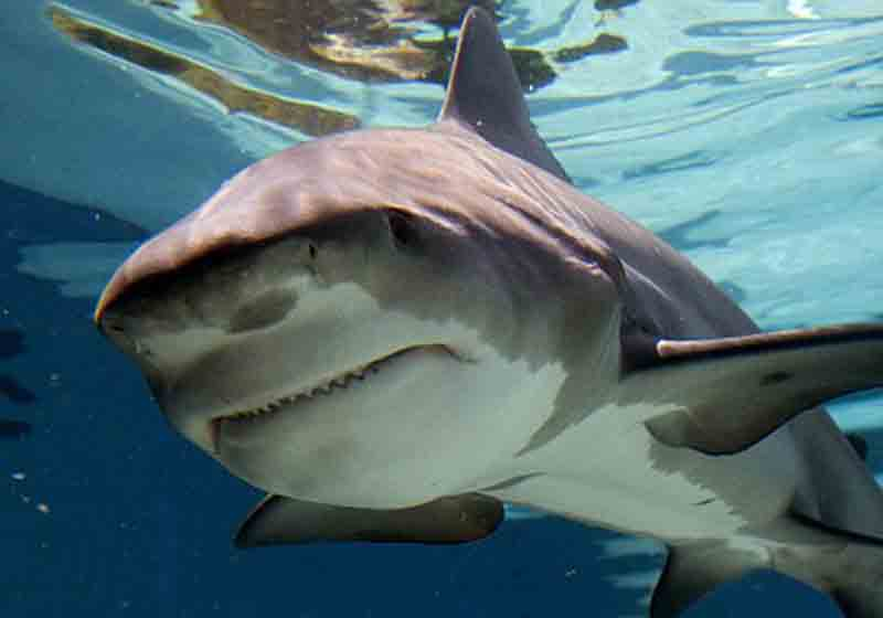 Акула-бык, или бычья акула, относится к семейству Carcharhiniformes