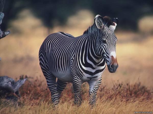 Boll теги зебра картинки животные